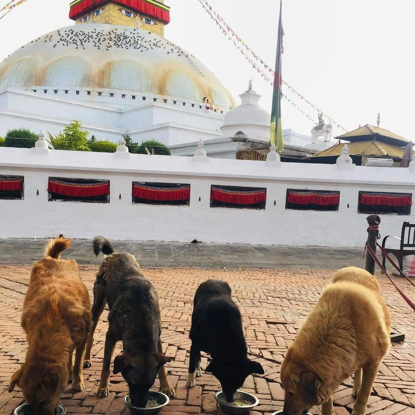 Healthy, mange free street dogs in Nepal after treatment