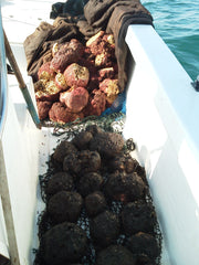Freshly Harvested Yellow and Wool Sea Sponges