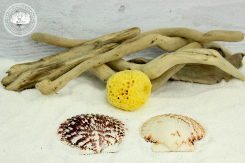Sea Hermit™ Natural Hermit Crab Watering Sea Sponge & 2 Sea Shell Dishes