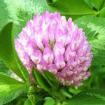Red Clover (Trifolium pretense) 7 oz Divided