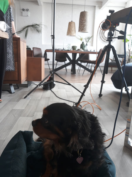 A King Charles Spaniel lying on the floor with an interior photoshoot happening in the background