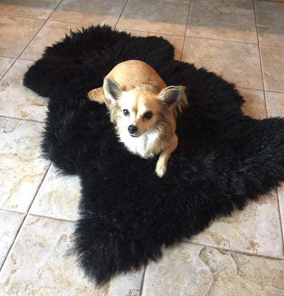 Black Sheepskin Rug used as Dog Bed for Chihuahua