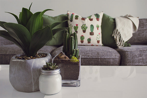 Cactus on White Coffee Table and Grey Sofa