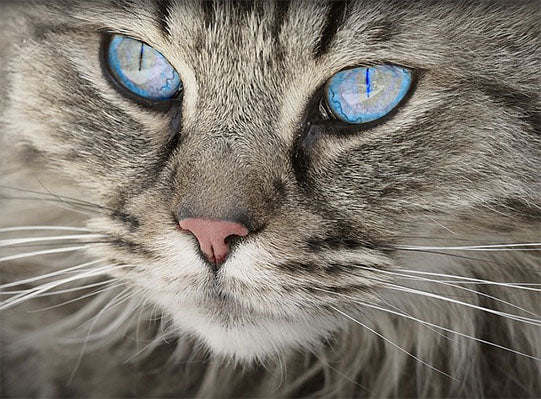 Cat with Blue Eyes Modish Living