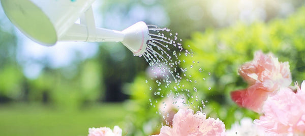 Close up of pink flowers being watered with watering can