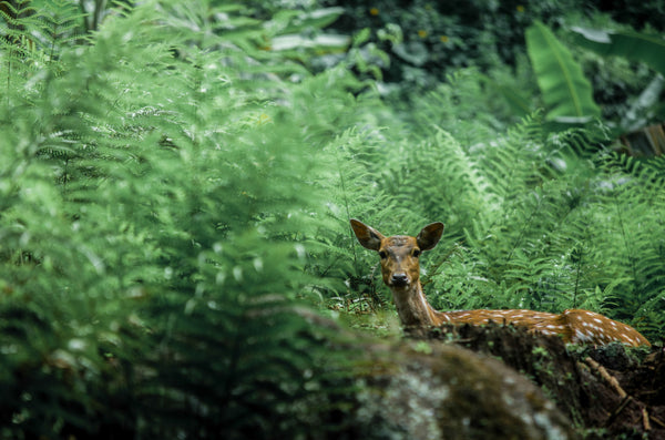 Doe perked up in a lusciously green forest
