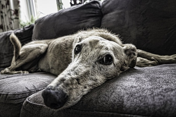 Grey Dog on Sofa
