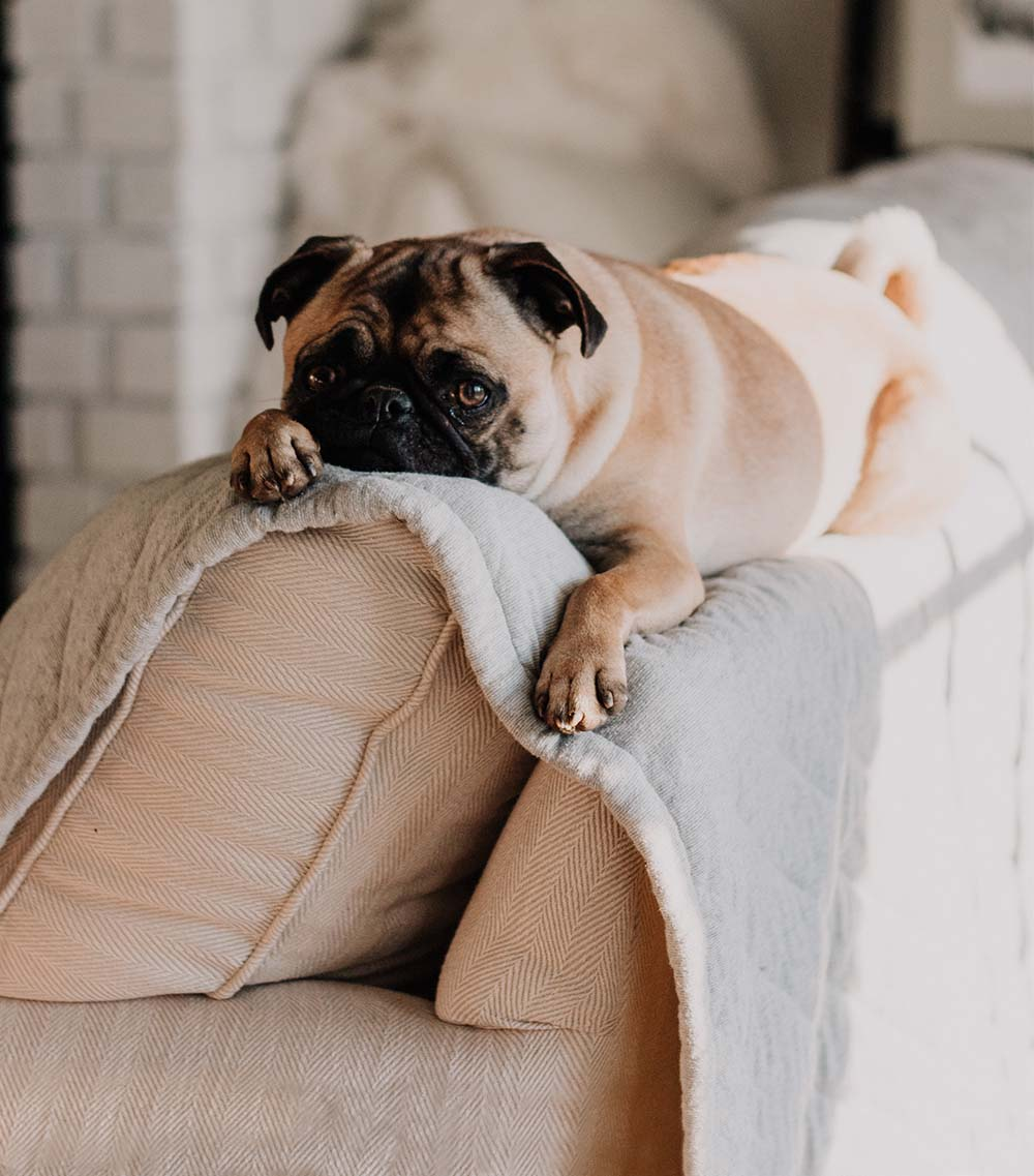 Pug on Cream Fabric Sofa