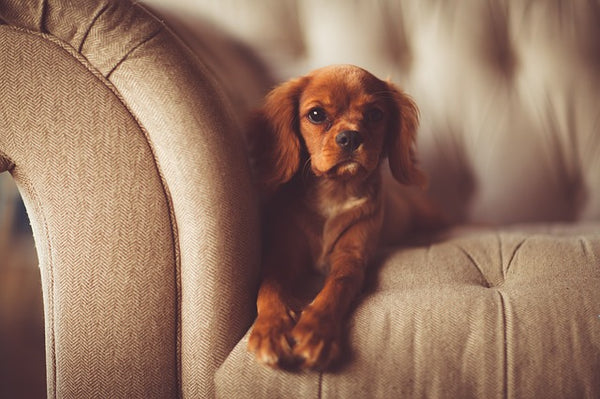 Puppy on Chesterfield Sofa