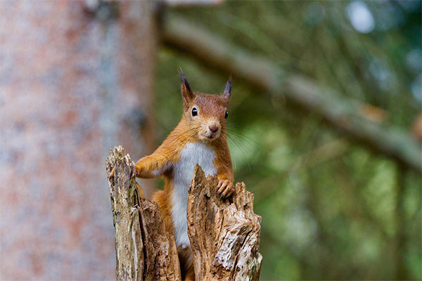Squirrel in Woodland