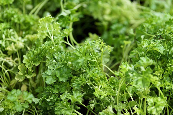 fresh parsley for cooking at modish living