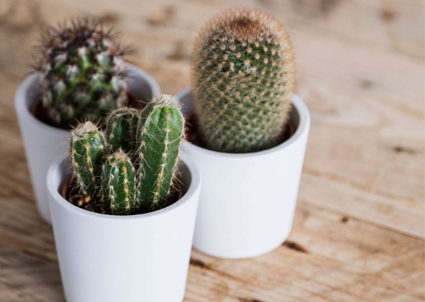 Three small pots of cactus for How to Style a Bookcase blog