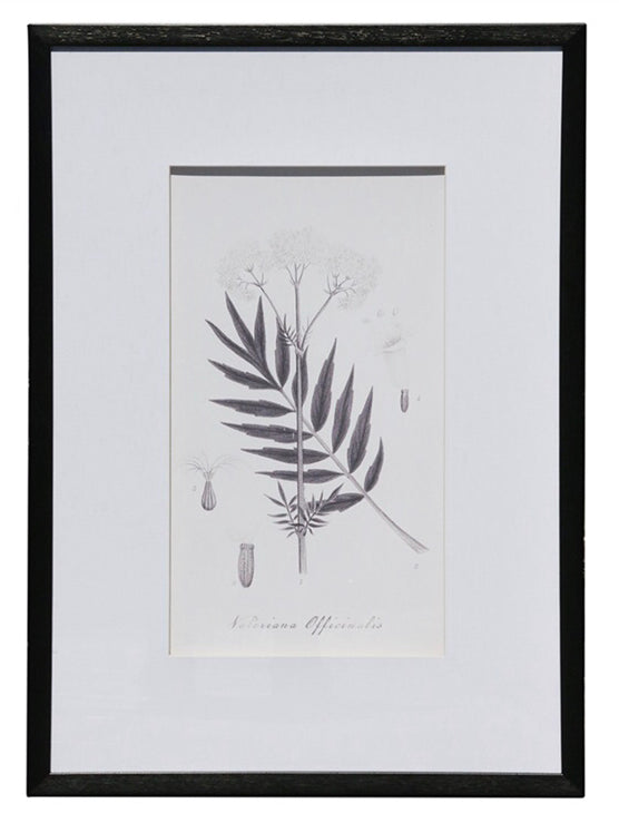 Botanical Black & White Print