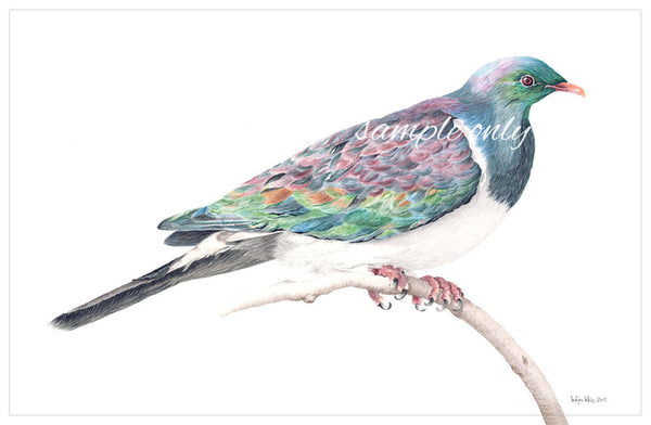 Wood Pigeon (Kereru) by Indigo Wise