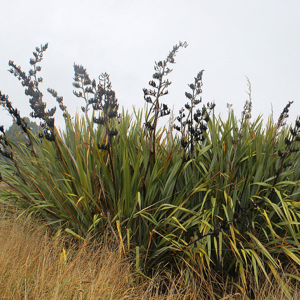 new zealand swamp flax