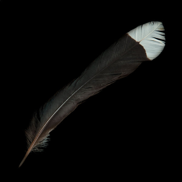 Huia Feather