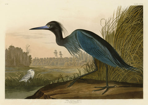 Blue Crane or Heron -  John James Audubon - McGaw Graphics