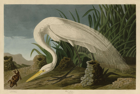 John James Audubon - White Heron