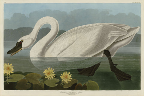 John James Audubon - Common American Swan