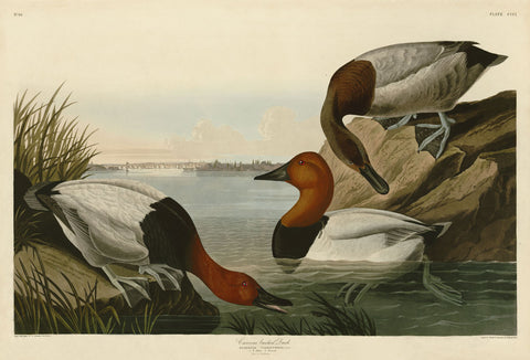 Canvas Backed Duck -  John James Audubon - McGaw Graphics