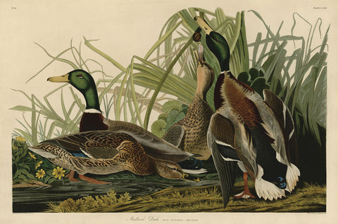 John James Audubon - Mallard Duck