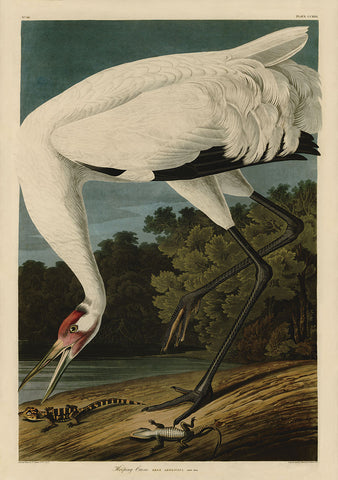 John James Audubon - Hooping Crane I