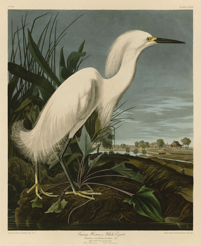 John James Audubon - Snowy Heron or White Egret