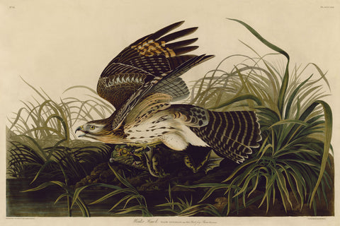 John James Audubon - Winter Hawk
