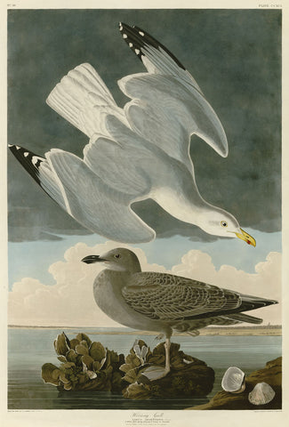 Herring Gull -  John James Audubon - McGaw Graphics