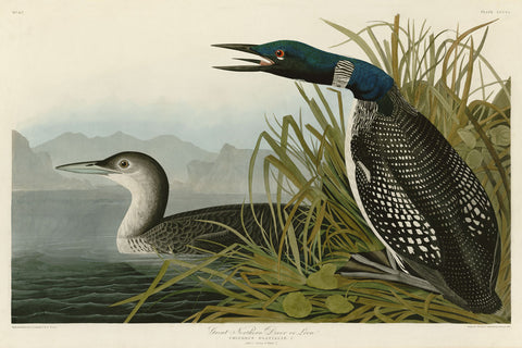John James Audubon - Great Northern Diver or Loon