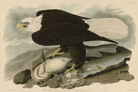 White-Headed Eagle -  John James Audubon - McGaw Graphics