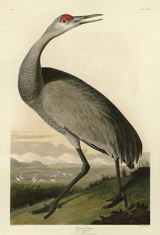 Hooping Crane -  John James Audubon - McGaw Graphics