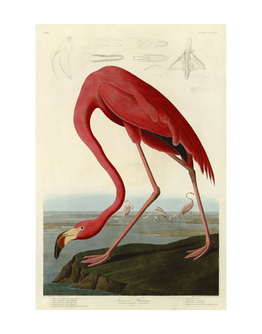 American Flamingo -  John James Audubon - McGaw Graphics