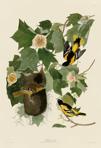 John James Audubon - Baltimore Oriole