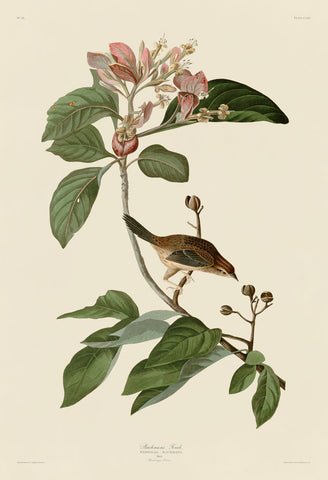 John James Audubon - Bachmans Finch
