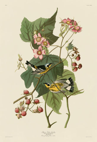 John James Audubon - Black & Yellow Warblers