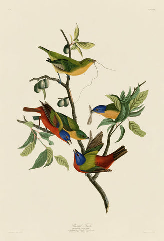 John James Audubon - Painted Finch