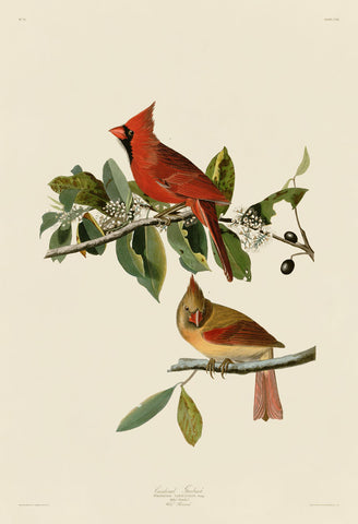 Cardinal Grosbeak -  John James Audubon - McGaw Graphics