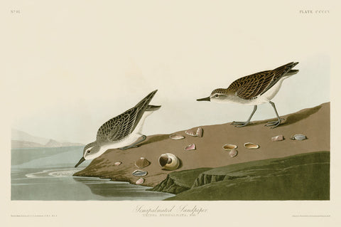 Semipalmated Sandpiper -  John James Audubon - McGaw Graphics