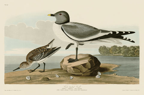 Fork-Tailed Gull -  John James Audubon - McGaw Graphics