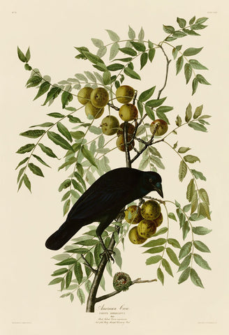American Crow -  John James Audubon - McGaw Graphics