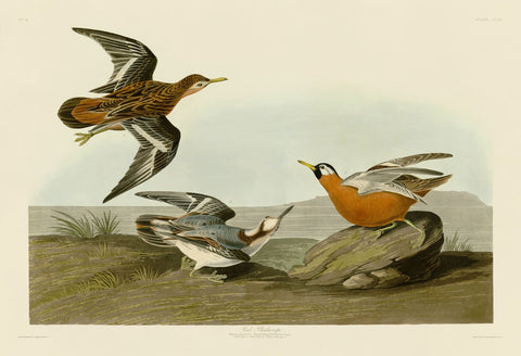 Red Phalarope -  John James Audubon - McGaw Graphics