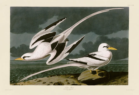 Tropic Bird -  John James Audubon - McGaw Graphics