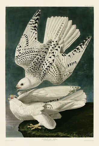 Iceland or Jer Falcon -  John James Audubon - McGaw Graphics