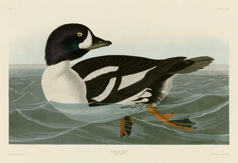John James Audubon - Golden-eye Duck