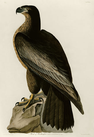 Bird of Washington -  John James Audubon - McGaw Graphics