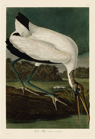 Wood Ibiss -  John James Audubon - McGaw Graphics