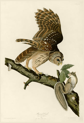 Barred Owl -  John James Audubon - McGaw Graphics