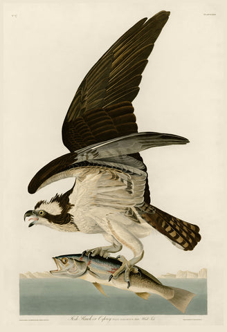 John James Audubon - Fish Hawk or Osprey