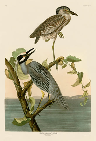 John James Audubon - Yellow-Crowned Heron